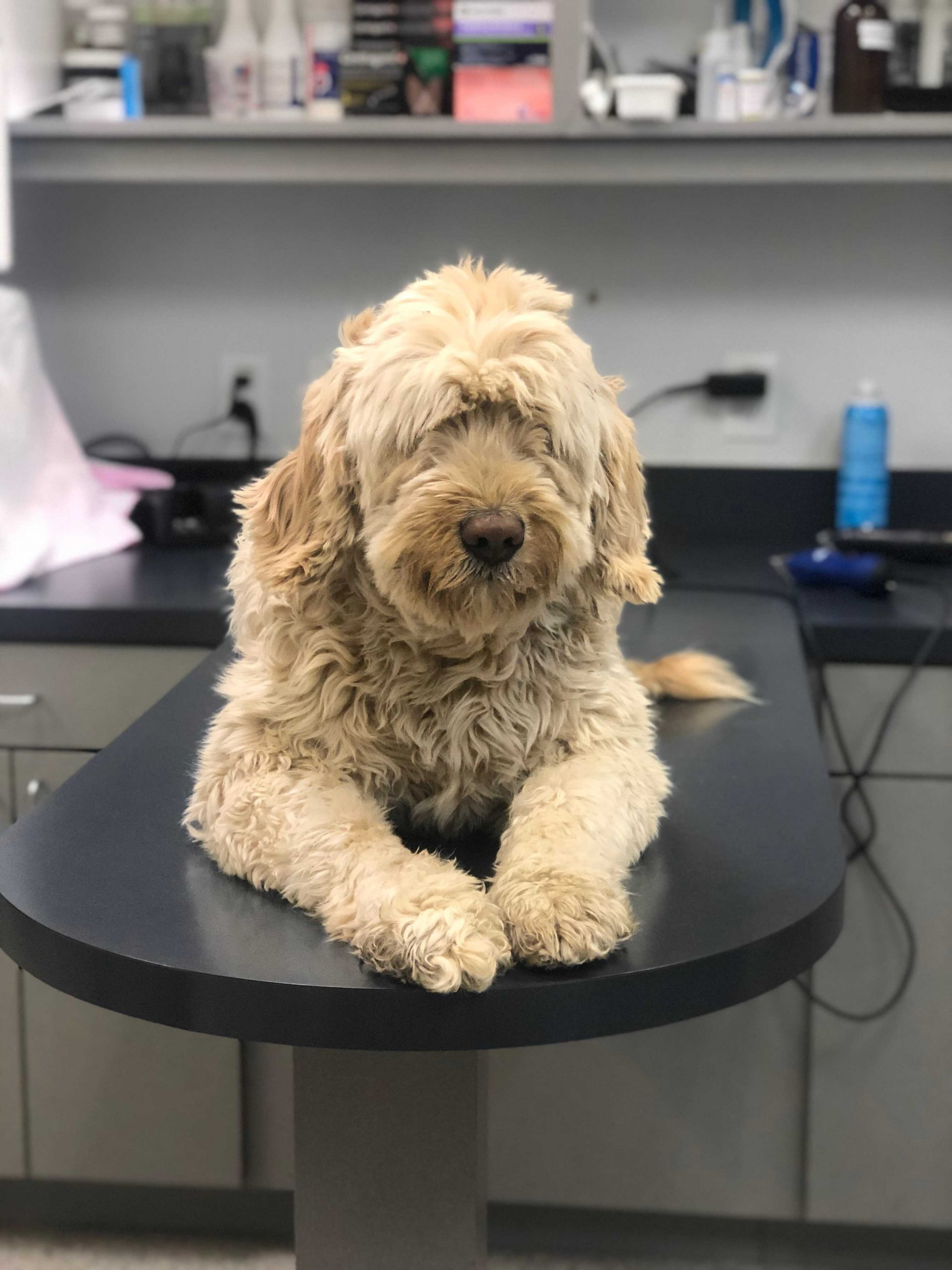 Cute pup relaxing on the exam table